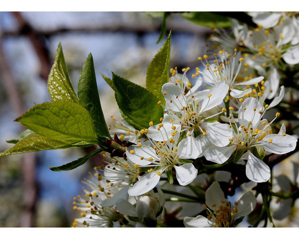 Image Related To Prunus americana (American Plum)