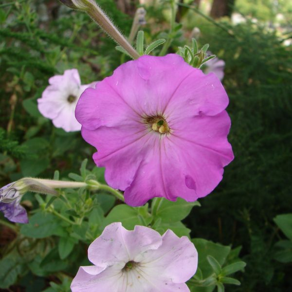 Image Related To Petunia x hybrida (Old-fashioned Reseeding Petunias)