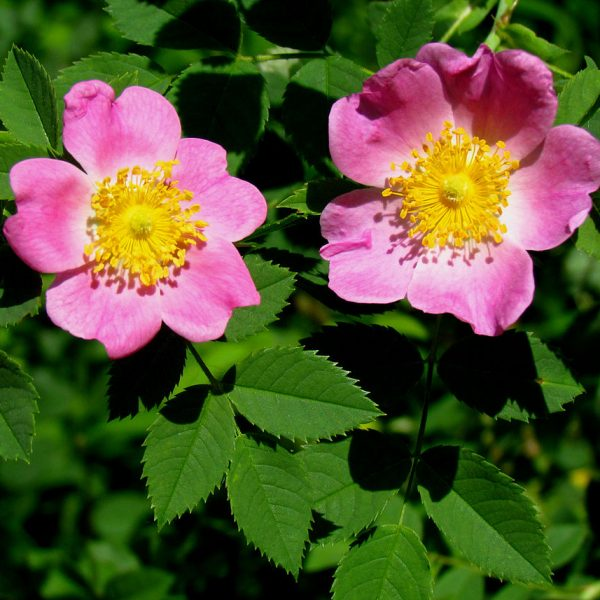 Image Related To Rosa carolina (Carolina Rose) 1g