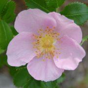 Image Related To Rosa carolina (Carolina Rose) 1g