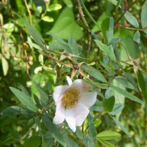 Rosa palustris (Swamp Rose)