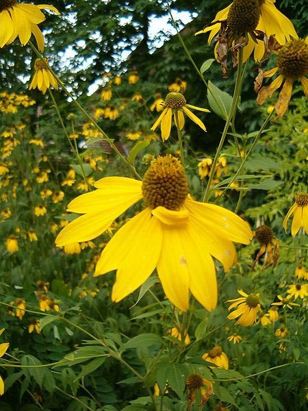 Image Related To Rudbeckia laciniata (Cut-leaf Coneflower) 1g