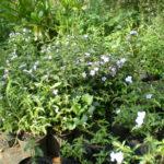 Image Related To Ruellia caroliniensis (Common Wild-petunia)