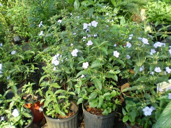 Image Related To Ruellia caroliniensis (Common Wild-petunia) 3.5″