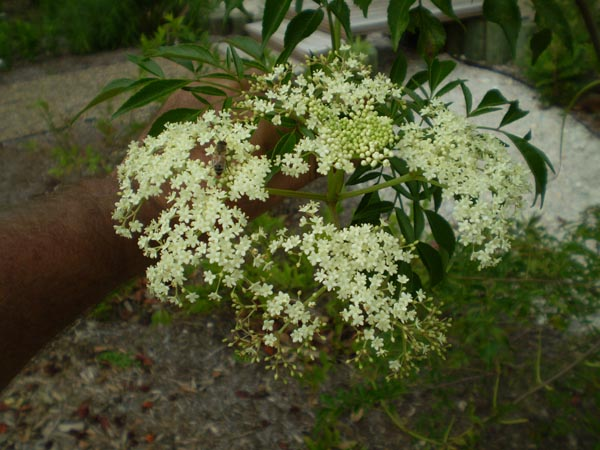 "Image Related To Sambucus canadensis ""Roseida"" ("" Roseida"" Common Elderberry)"