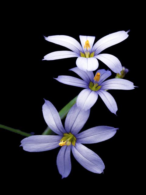 Image Related To Sisyrinchium sp. (Blue-eyed-grass)