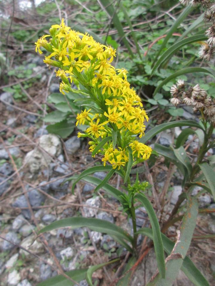 Image Related To Solidago mexicana syn. Solidago sempervirens var. mexicana  (Southern Seaside Goldenrod)