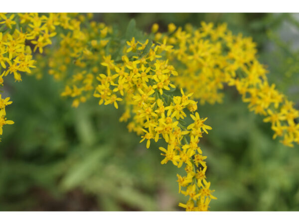 Image Related To Solidago nemoralis (Southern Gray Goldenrod)