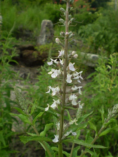 Image Related To Teucrium canadense (Wood Sage or American Germander) 3.5″
