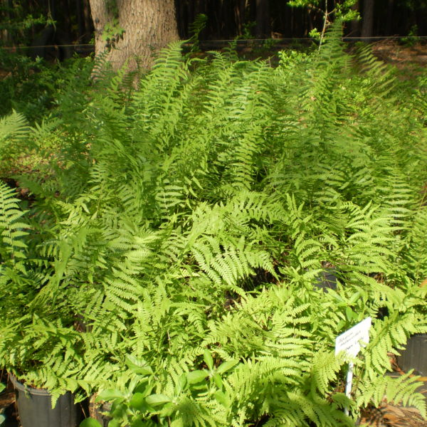 Image Related To Thelypteris palustris (Marsh Fern)
