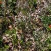 Image Related To Vicia caroliniana (Carolina Vetch)