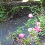 "Image Related To Rosa sp. ""Susie Green""  (""Susie Green's Rambling Rose"" )"