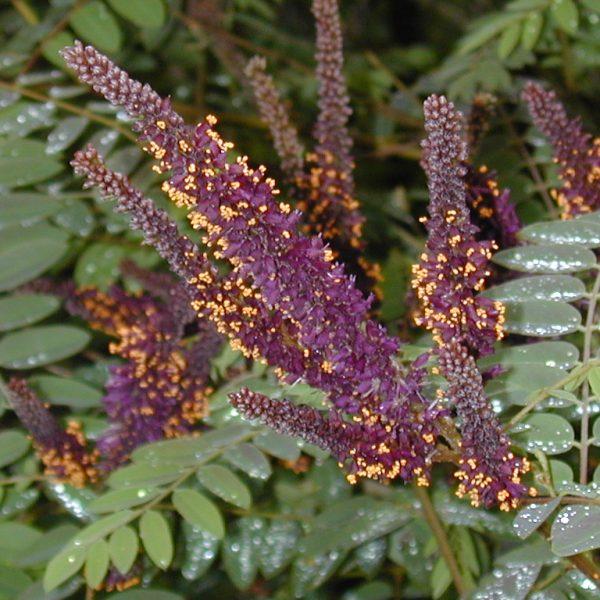 Image Related To Amorpha fruticosa (Tall Indigo-bush) 7g