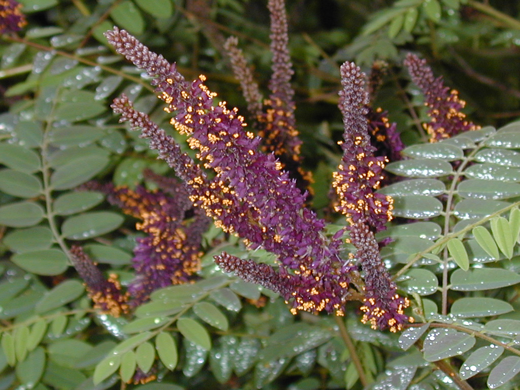 Image Related To Amorpha fruticosa (Tall Indigo-bush)