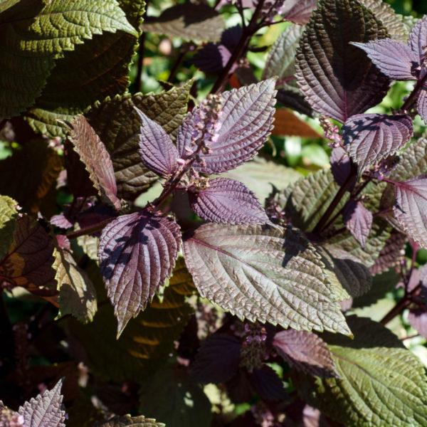 Image Related To Perilla frutescens (Beefsteak Plant, Perilla, Shiso)